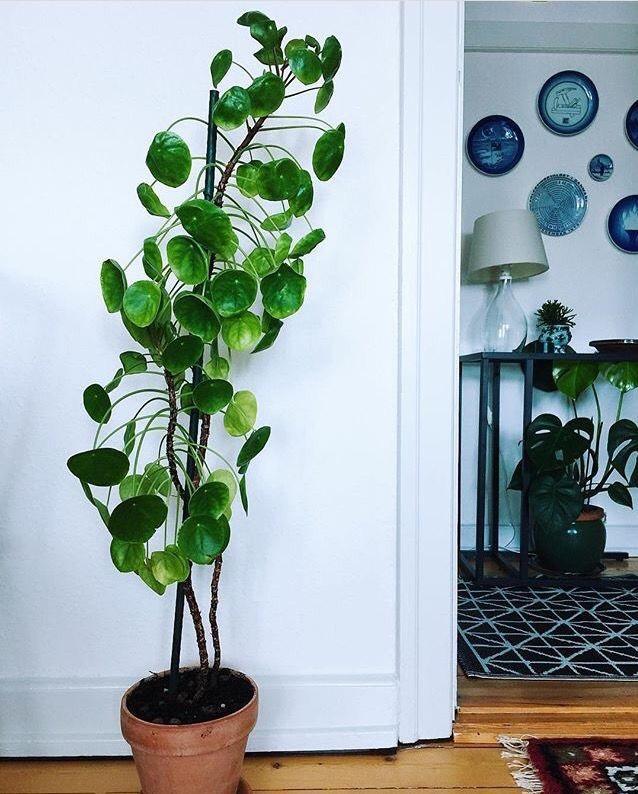 Woontrend Pannenkoekenplant