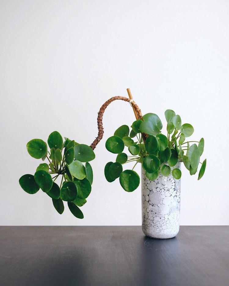 Pilea - pannenkoekenplant