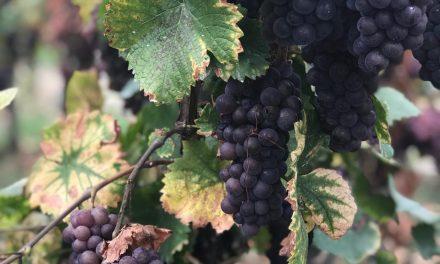 Elzas wijnen: 3 wijnhuizen, 3x anders
