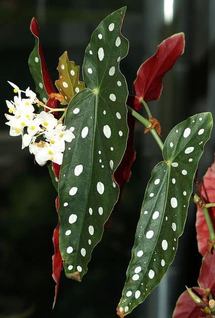 Begonia Maculata verzorging