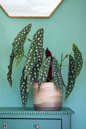 Polkadot Begonia stylingtips