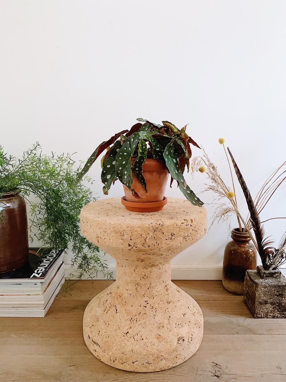 Polkadot begonia