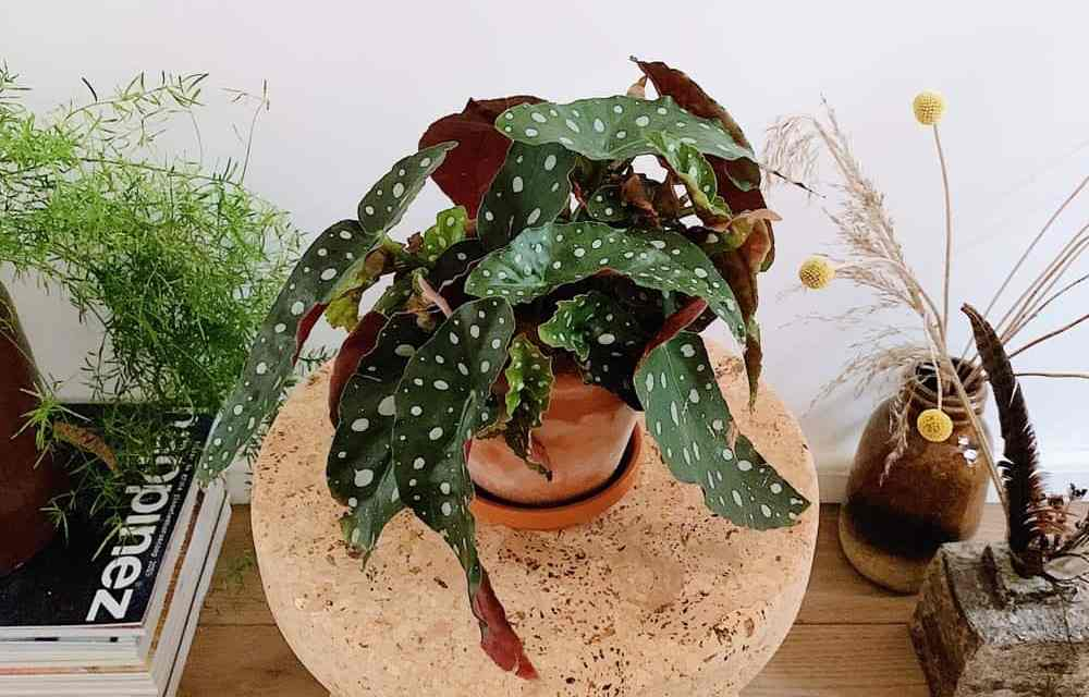 Plantentopper: de Polkadot Begonia