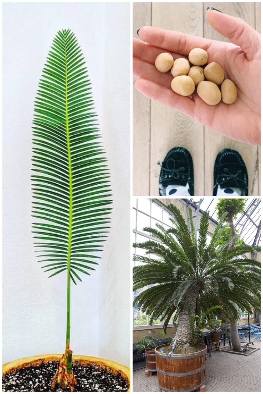zaaitips Dioon Edule | Mexicaanse Palmvaren