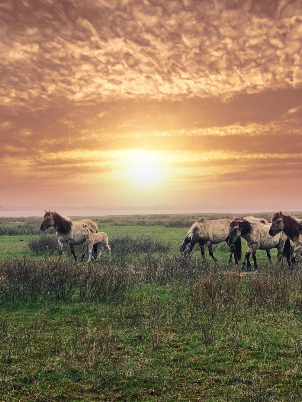 Konikpaardjes in Lauwersmeer