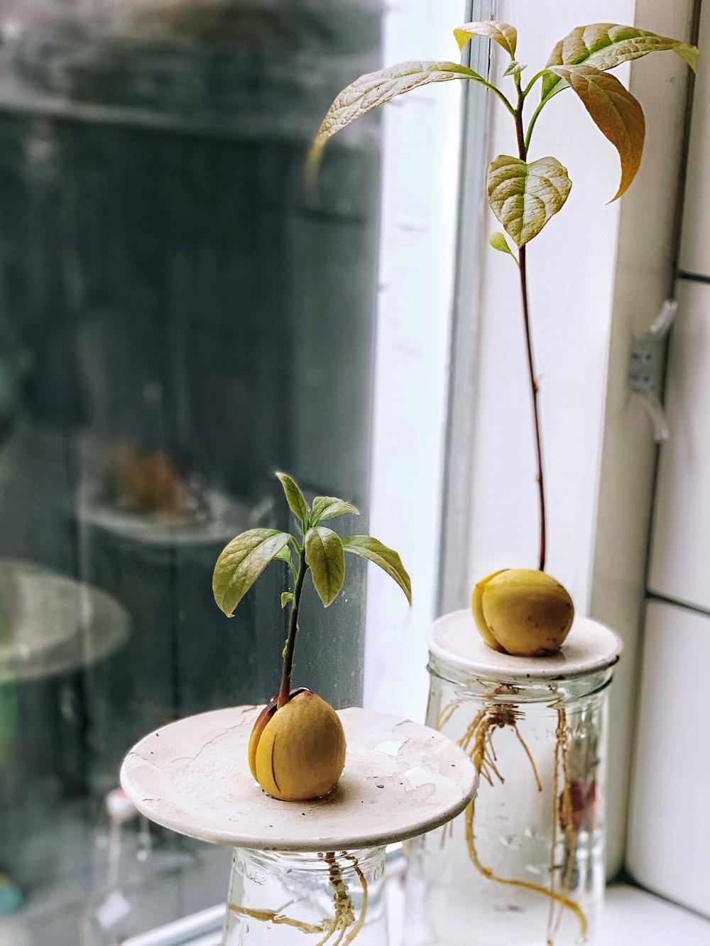 avocadoboom groeien