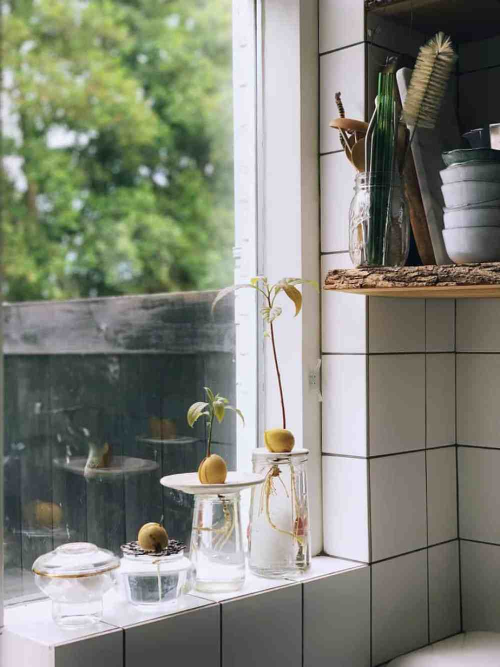 Avocadoplant groeien