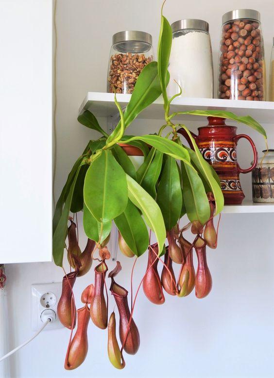 Verzorgingstips bekerplant