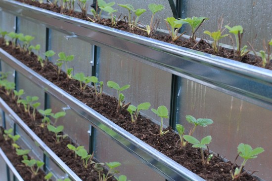 how to grow strawberries in gutters greenhouse