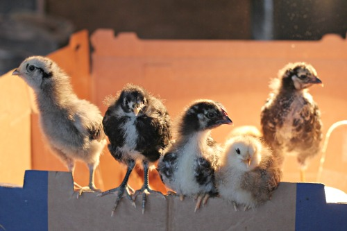 baby chicks 2 weeks