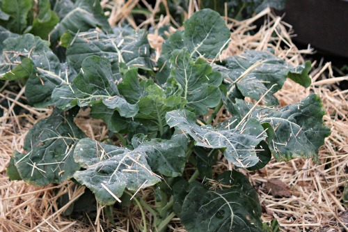 cauliflower in winter