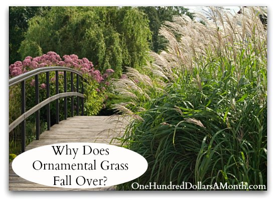 Why Does Ornamental Grass Fall Over