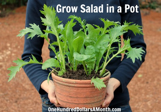 Container Gardening Idea Grow Salad In A Pot One Hundred Dollars A Month