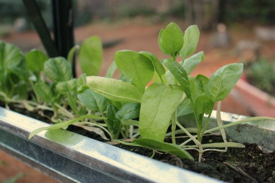 How to Grow a Greenhouse Vegetable Garden