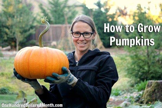 How to grow pumpkins