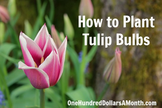how to plant tulip bulbs  one hundred dollars a month, Natural flower