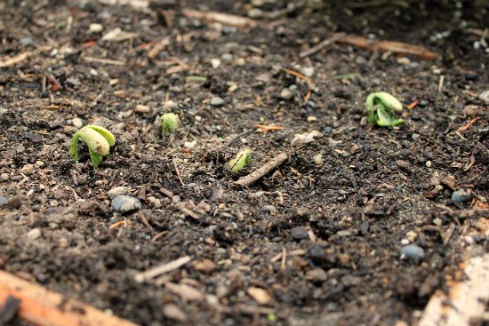 beans sprouting