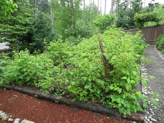 cascadia raspberry bushes western washington
