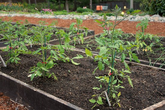 heirloom tomato plants