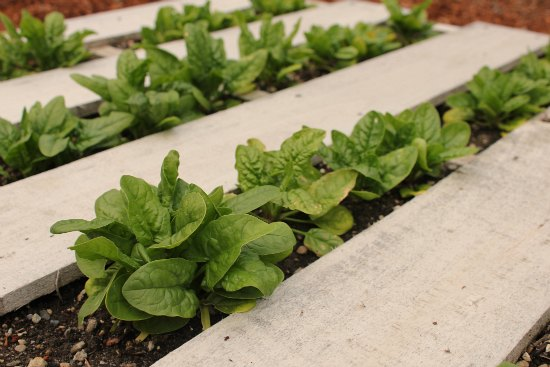 wood pallet garden spinach