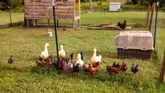 Buying eggs from the grocery store what do the labels for Can ducks and chickens share a coop
