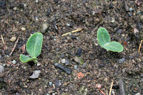 winter squash seedlings