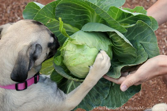 puggle puppies cabbage