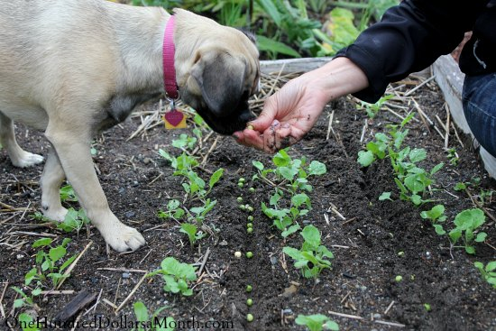 puggle puppies fall garden