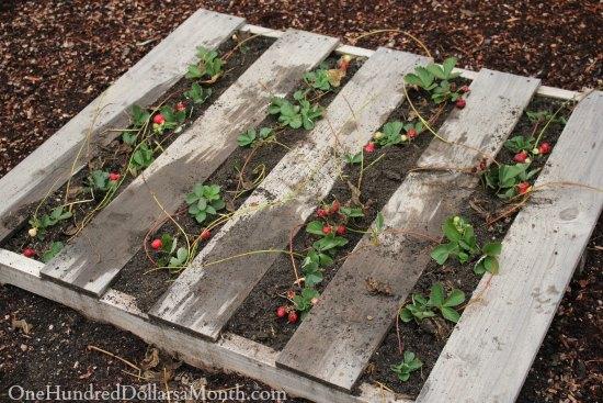 pallet garden strawberries