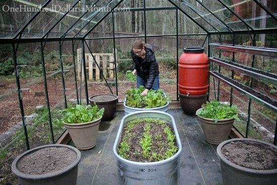winter lettuce greenhouse