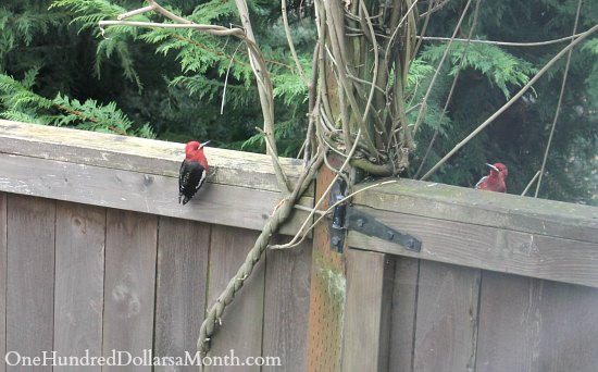 young woodpeckers
