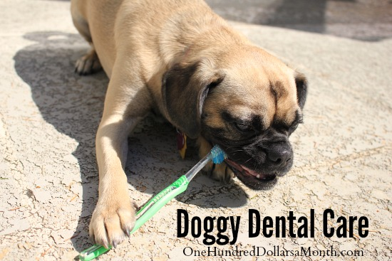 Doggy Dental Care lucy the puggle dog