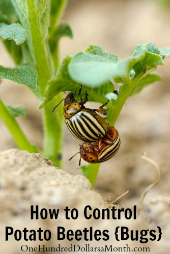 How to Control Potato Beetles {Bugs}