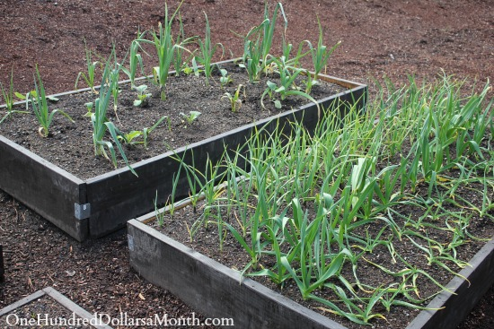 grow garlic and leeks