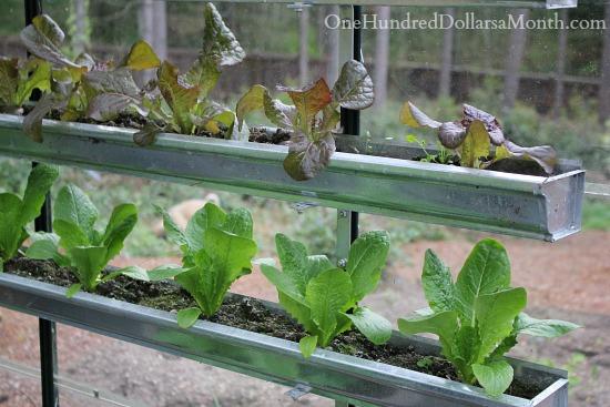 lettuce growing in gutters