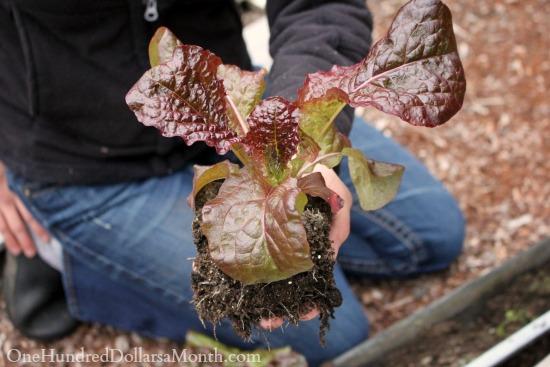 lettuce start
