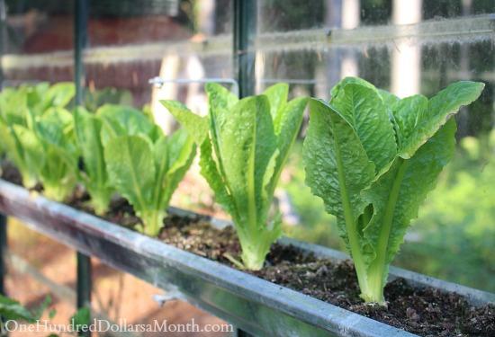 lettuce in greenhouse gutters