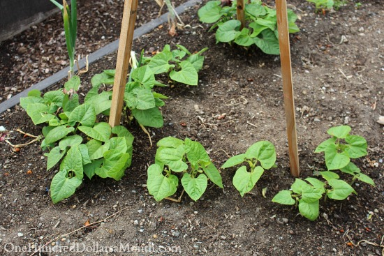pole beans growing in a garden