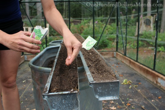 planting lettuce seeds in a greenhouse