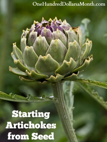 Starting Artichokes from Seed