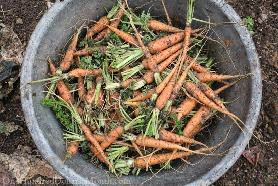 winter carrots harvest