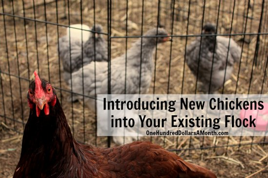 Introducing-New-Chickens-into-Your-Existing-Flock