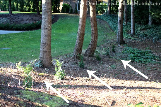 Leland cypress tree border