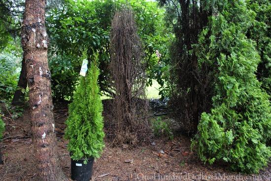 dead arborvitae tree