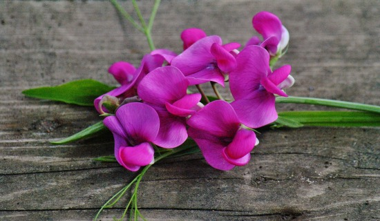 pink sweet pea flowers