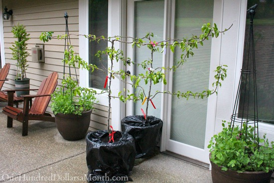 grafter espalier pear tree
