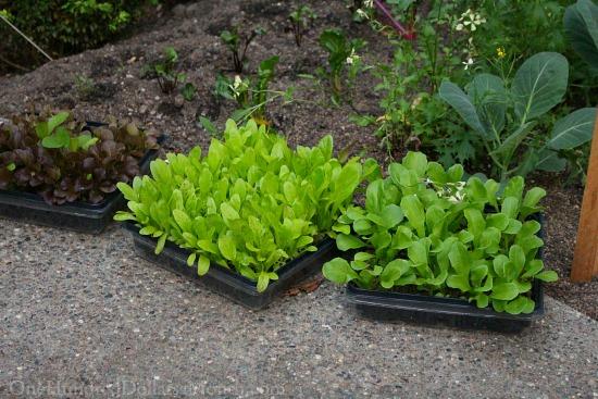 lettuce flats