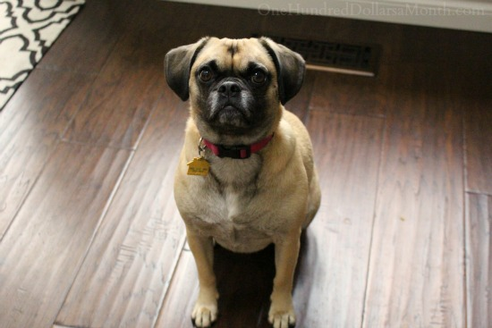 lcuy the puggle dog