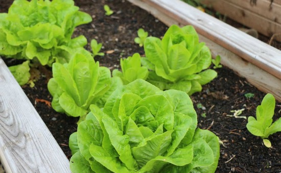 lettuce growing in garden boxes
