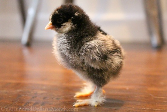 Light Brahma chick